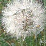 Flor de Pastelero