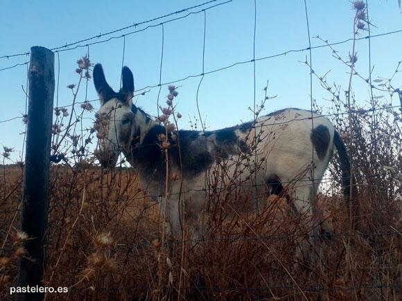 Asno español en el campo de la Barriada Pastelero de Málaga cerca del Torcal de Antequera